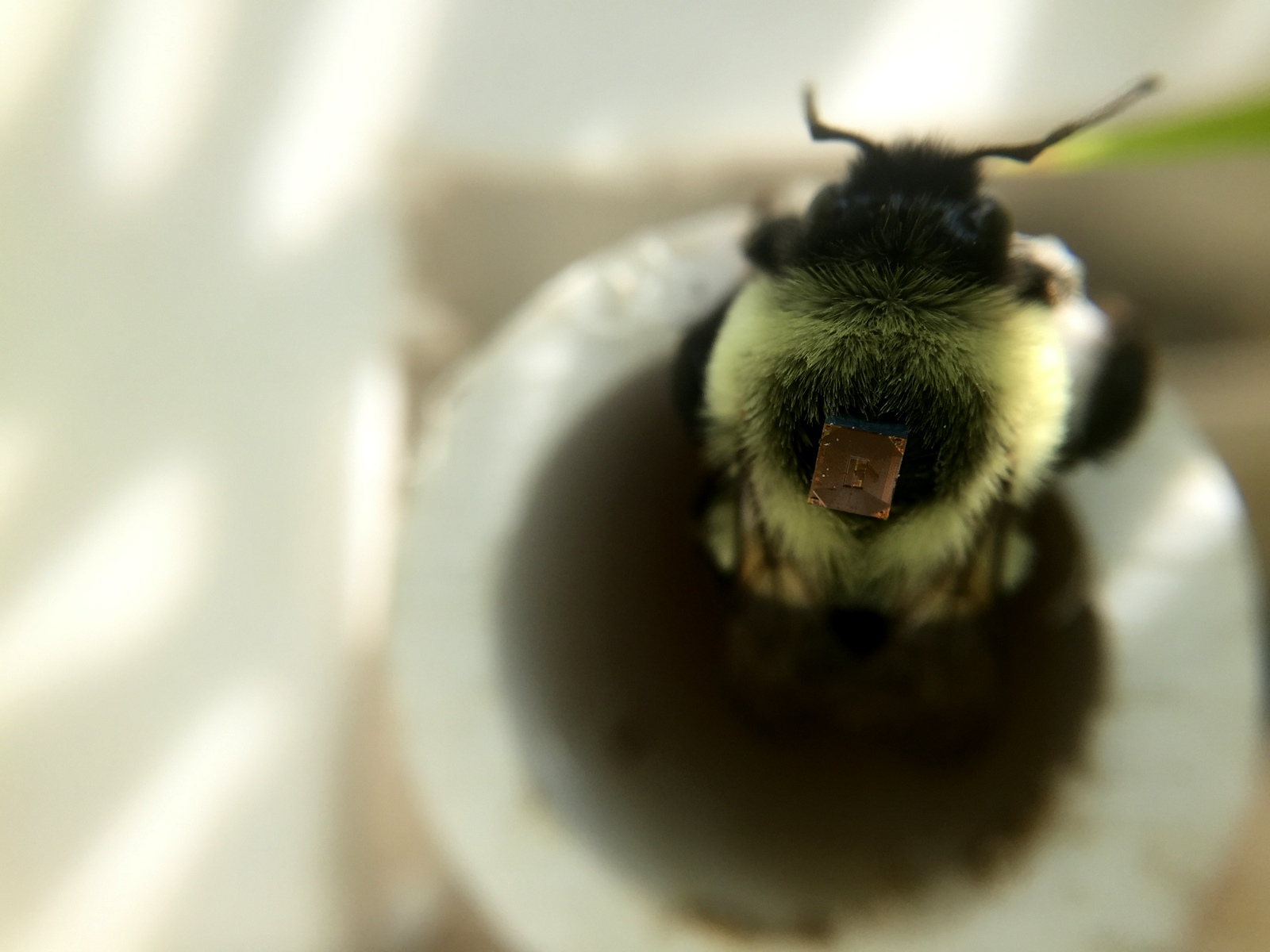 What's best for bees? Radio tracking bumblebee foraging to