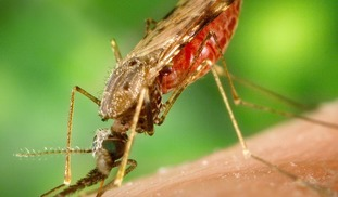 Chemically sterilizing mosquitoes to prevent malaria transmission